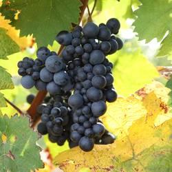 Weinberg Rotwein Trauben