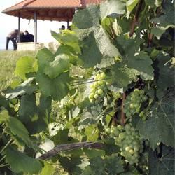 Wein Stadtecken-Elsheim Rheinhessen